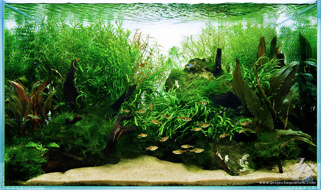 Special projects on pinterest aquascaping planted for Planted tank fish