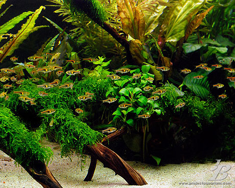 Planted Aquarium - Valley to the East -Rasbora Hengeli